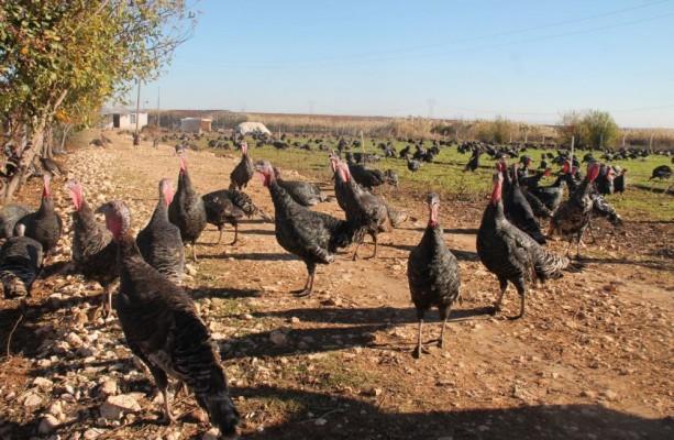 Yılbaşı öncesi Urfa'da hindiye talep arttı